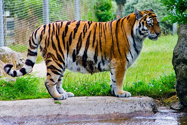 A tiger at Marwell Zoo